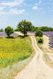 Sunflower and lavender fields Royalty Free Stock Photo