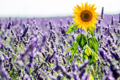 Sunflower and Lavender fields stock images