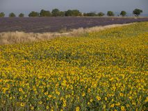 Sunflower and lavender in an open field royalty free stock photography