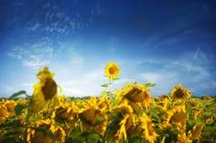 Sunflower leader Royalty Free Stock Image