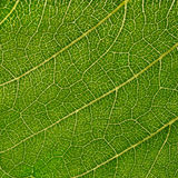 Sunflower leaf Royalty Free Stock Images