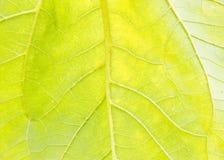 Sunflower leaf garden, texture,Agriculture,flower,botany. Sunflower leaf Royalty Free Stock Image