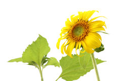 Sunflower and leaf isolated Royalty Free Stock Photography