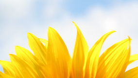 Sunflower leaf nature background stock footage