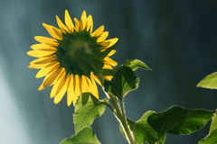 Sunflower leaf shines under the sun Stock Photo