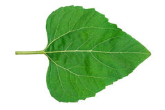 Sunflower leaf. On white background Royalty Free Stock Photography