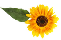 Sunflower with a leaf on a white background closeup Royalty Free Stock Photos