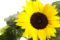 Sunflower with leafes Royalty Free Stock Images