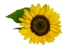 Sunflower with leaves isolated on white background.  royalty free stock photos