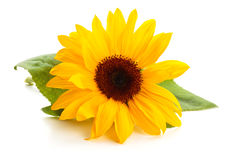 Sunflower with leaves. royalty free stock photography