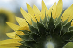Sunflower leaves macro Royalty Free Stock Photo