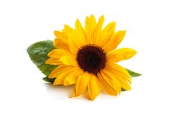 Sunflower with leaves. Sunflower with leaves isolated on white background royalty free stock images