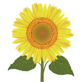 Sunflower with leaves vector Royalty Free Stock Image