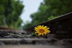 Sunflower left on the rails royalty free stock photos