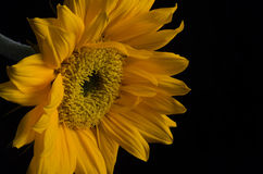 Sunflower from Left stock photography