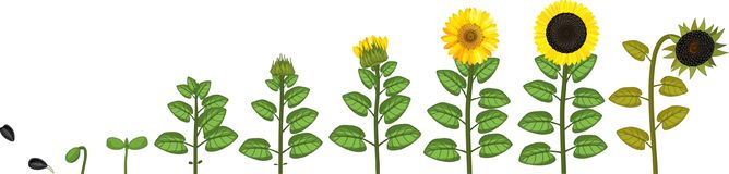 Sunflower life cycle. Growth stages from seed to flowering and fruit-bearing plant. Sunflower life cycle. Growth stages from seed to flowering and fruit-bearing stock illustration