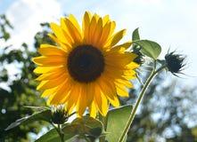 Sunflower in light. Sunflower in backlight, on summer, Yellow flower, summer sky royalty free stock photography