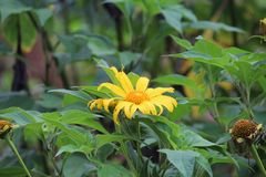 Sunflower-like. I& x27;m not sure of the name but I& x27;m pretty certain it belongs to the Annuus Specie Stock Photos