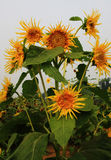 Sunflower like Van gogh's Stock Image