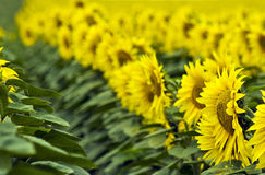 Sunflower line Stock Images