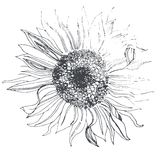 Sunflower. Linear sketch of flower sunflower Royalty Free Stock Image