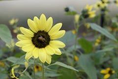 Sunflower. Little bee honey in the sunflower Royalty Free Stock Images