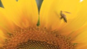 Sunflower and little honey Bee stock video