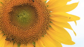 Sunflower and little honey Bee stock video footage