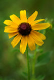 Sunflower. A lone sunflower in a field of green grass Stock Images