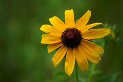 Sunflower. A lone sunflower in a field of green grass Royalty Free Stock Photos