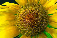 Sunflower сlose-up. Royalty Free Stock Photography