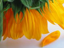 Sunflower and lost petal Royalty Free Stock Photography