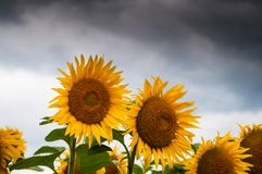 Sunflower Lot Royalty Free Stock Images