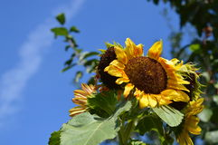 Sunflower love sun. When the cloud is not here Stock Images