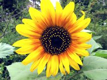 Sunflower because she loves the sun Royalty Free Stock Images