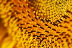 Sunflower macro Royalty Free Stock Images