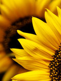 Sunflower macro Stock Photo