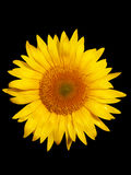 Sunflower macro Royalty Free Stock Photos
