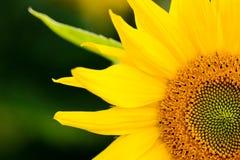 Free Sunflower Macro Stock Photography - 31160272