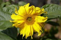 Sunflower macro Stock Photography