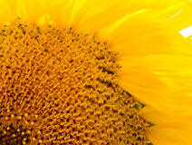 Sunflower macro close up. Inflorescence sunflower. Stock Image