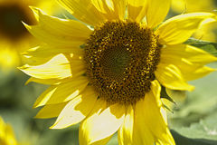 Sunflower macro Stock Image