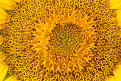 Sunflower macro Stock Photography