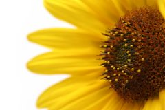 Sunflower macro over white Royalty Free Stock Image