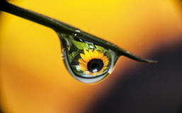 Sunflower. Macro photography of sunflower in water droplet Stock Images