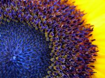 Sunflower macro shot Royalty Free Stock Photos