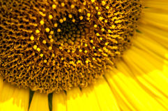 Sunflower. Macro shot of sunflower in afternoon sun Stock Image