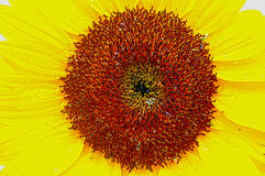 Sunflower Macro Royalty Free Stock Image