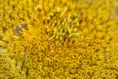 Sunflower macro shot, close up Royalty Free Stock Images