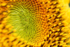 Sunflower, macro shot with detail of pollen, selective focus Royalty Free Stock Photo